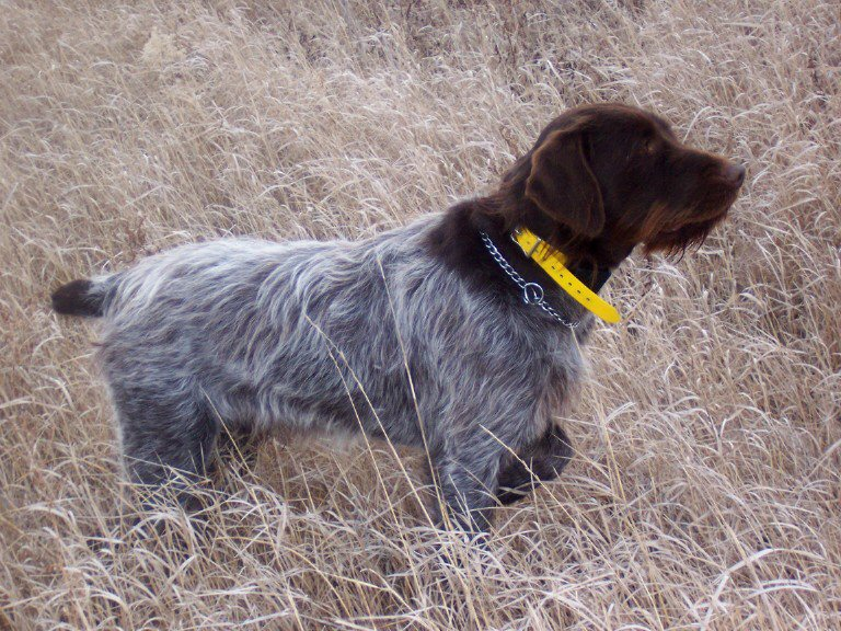 Wirehaired pointing griffon   AJVPS Salaj